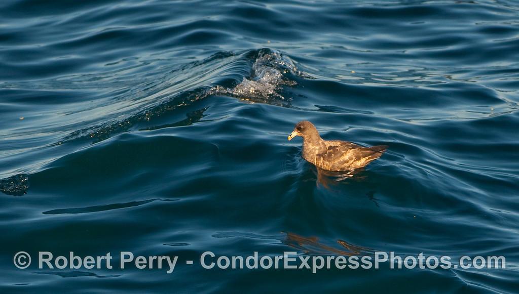 A Fulmar (Fulmaris glacialis) rests on the open ocean.