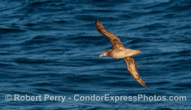 Black Footed Albatross (Phoebastria nigripes) soaring across the open ocean swells.