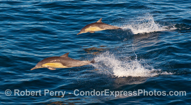 Common Dolphins (Delphinus capensis) leap over a wave.