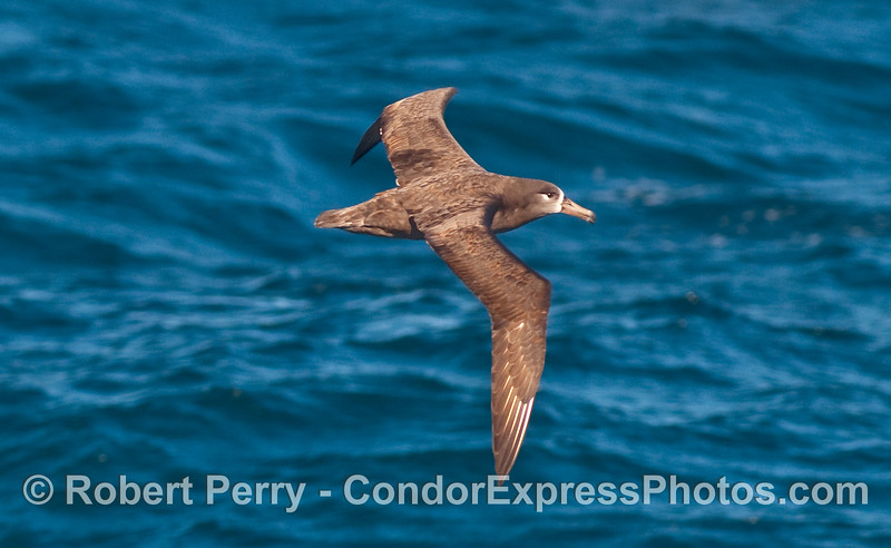 Close fly-by:  a Black Footed Albatross (Phoebastria nigripes).