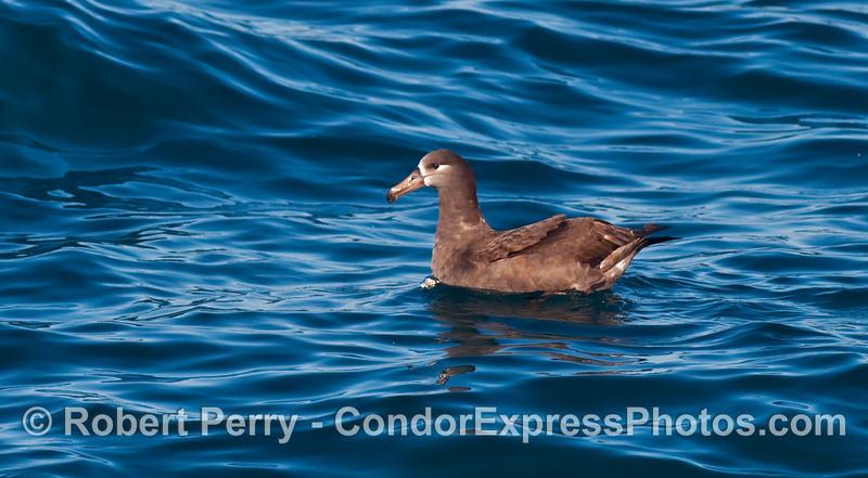 Black Footed Albatross (Phoebastria nigripes) sitting on the slick.