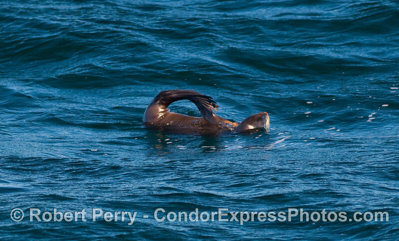 """Another Northern Fur Seal (Ursinus callorhinus) rafts on the open ocean in the characteristic """"jug handle"""" position."""