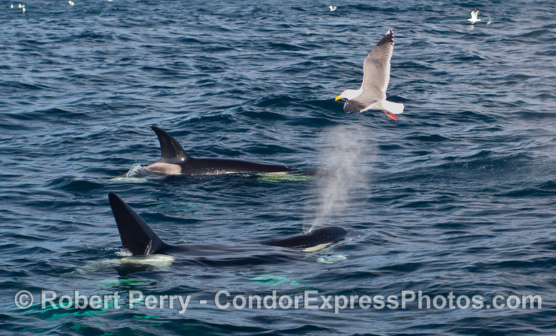 Two Orcas:  a female (back) and male.