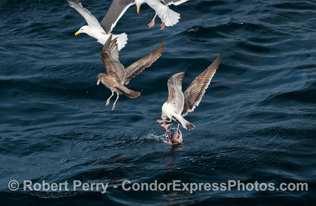 Western gulls (Larus occidentalis) try to pick up the leftover scraps of Pinniped flesh.
