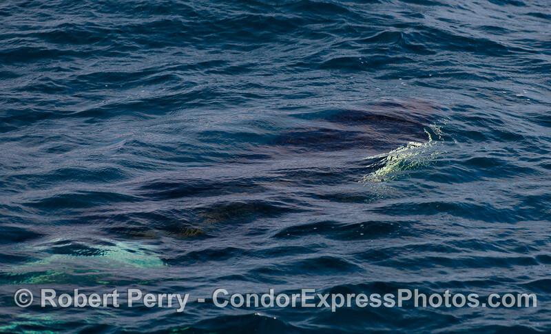 Orca underwater.