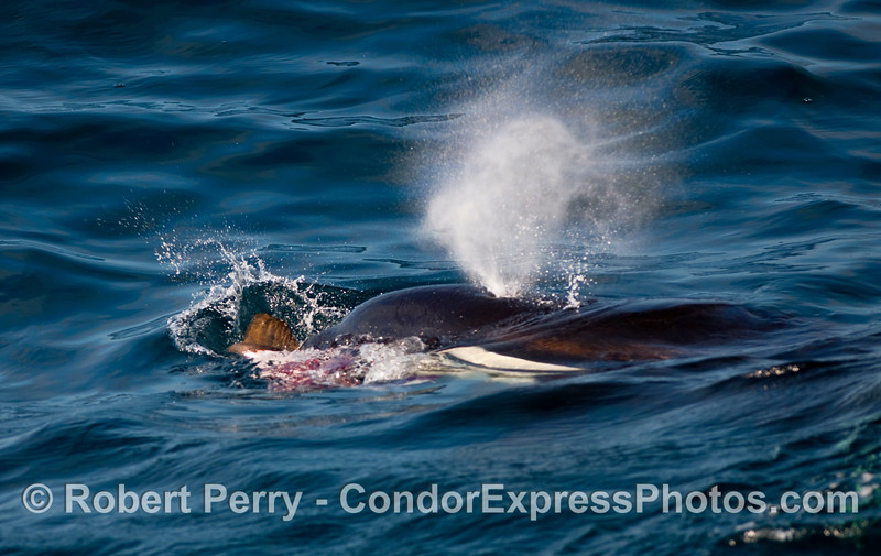 Hind flippers and flesh of a pinniped hang out of the mouth of this Orca.