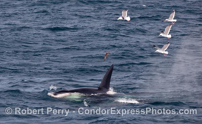 Huge dorsal fin of a male Orca...feeding on Pinniped flesh.