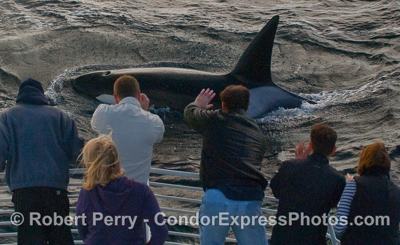 Male makes a close approach to the whalers on the bow of the Condor Express.