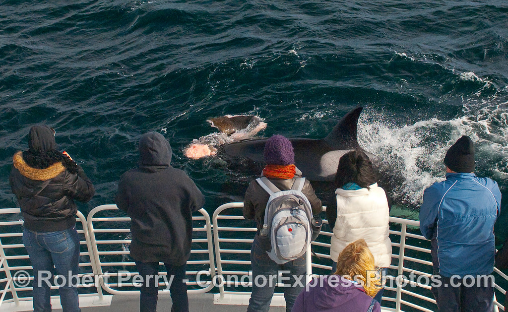 Pinniped flesh and brown flippers in mouth of this female Orca...right in front of the whalers.