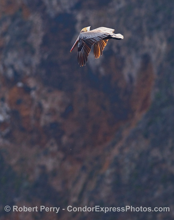 A Brown Pelican (Pelecanus occidentalis) flys along the seacliffs.
