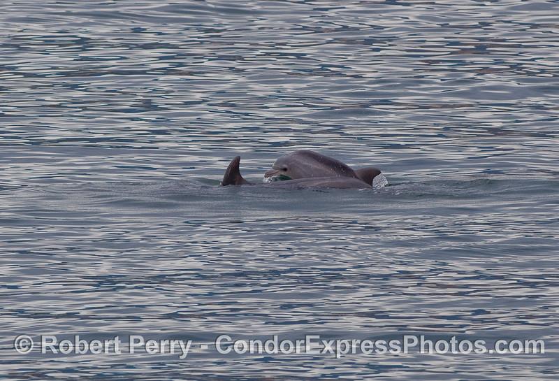 A tiny Bottlenose Dolphin calf (Tursiops truncatus) plays alongside mom, just outside the entrance to Santa Barbara Harbor.