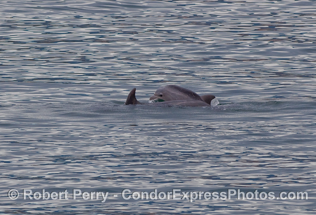 A tiny Bottlenose Dolphin calf (Tursiops truncatus) plays alongside mom, just outside the entrance to Santa Barbara Harbor.