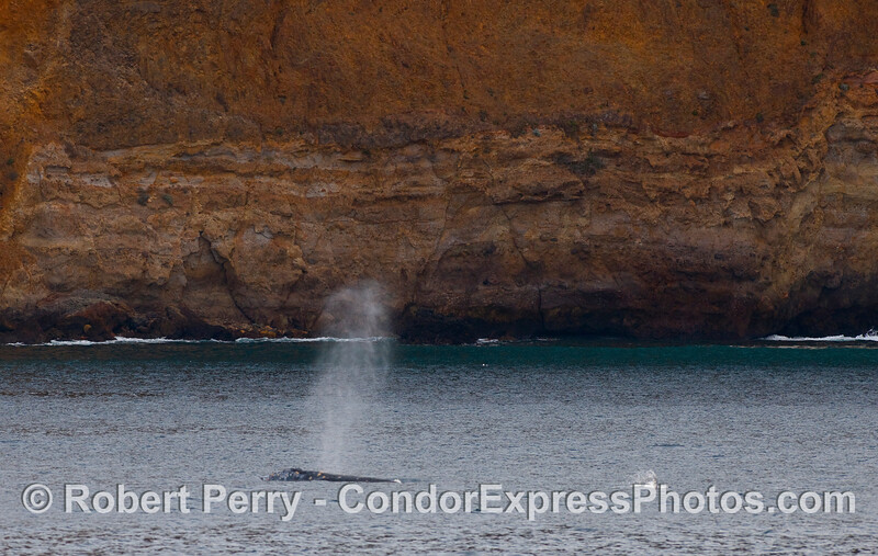 Gray Whale spout (Eschrichtius robustus) and a the splash of a frolicing California Sea Lion (Zalophus californianus) that can't help but play with the big cetaceans.