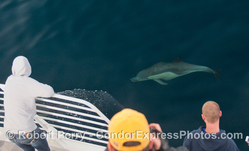 A Common Dolphin (Delphinus capensis) eyes the whalers on the bow of the Condor Express.