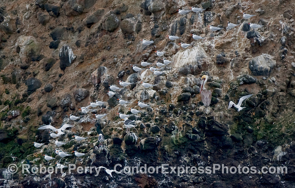 Royal terns (Sterna maxima) roost along the rocky cliff on the north face of Santa Cruz Island.