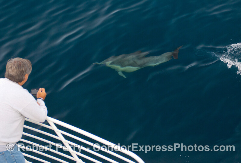 Whaler and small whale (actually a common dolphin, Delphinus capensis).