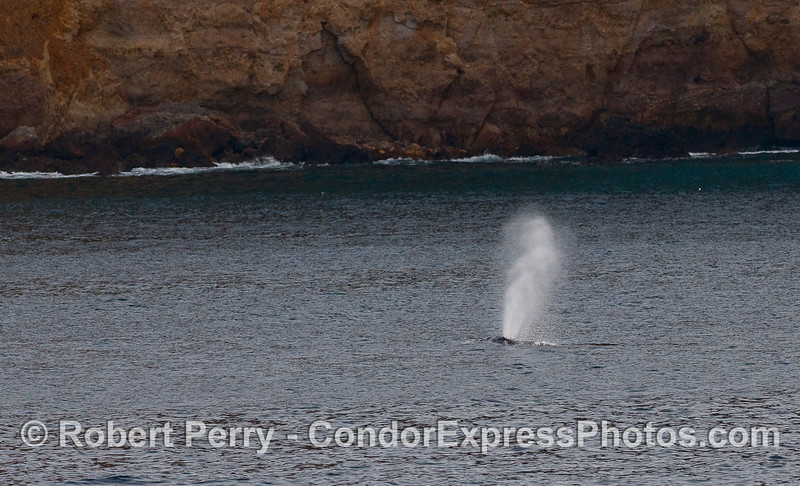 Gray Whale spout (Eschrichtius robustus), again very close to the cliffs.
