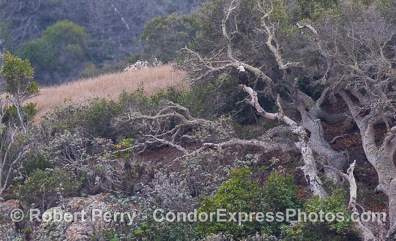 A Bald Eagle (Haliaeetus leucocephalus) rests on a tree limb.