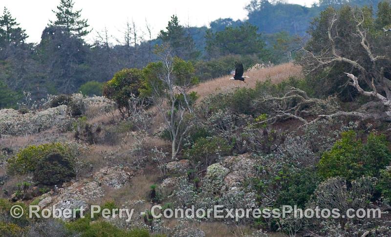 A Bald Eagle (Haliaeetus leucocephalus) in flight, just above the seacliffs on the northern face of Santa Cruz Island.