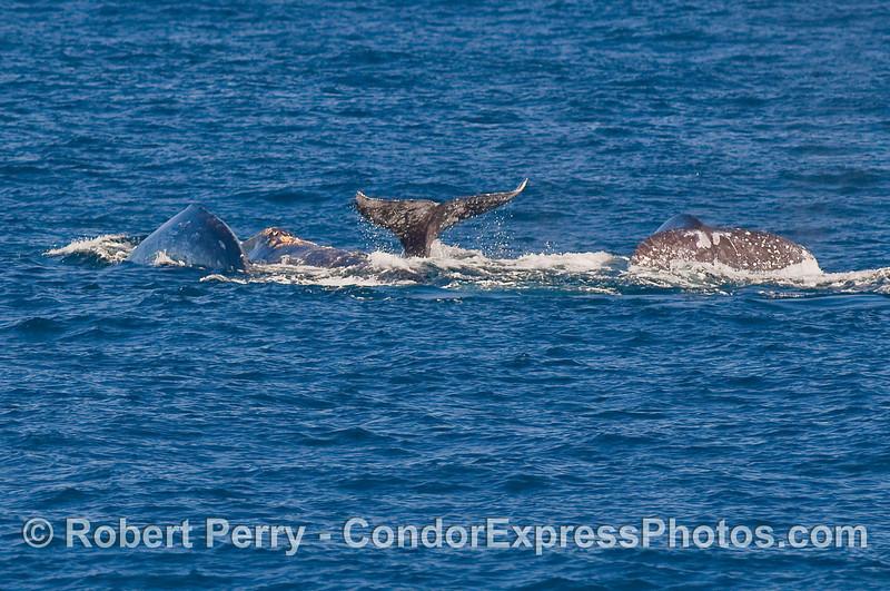 Four Gray Whales (Eschrichtius robustus) begin a deeper dive.