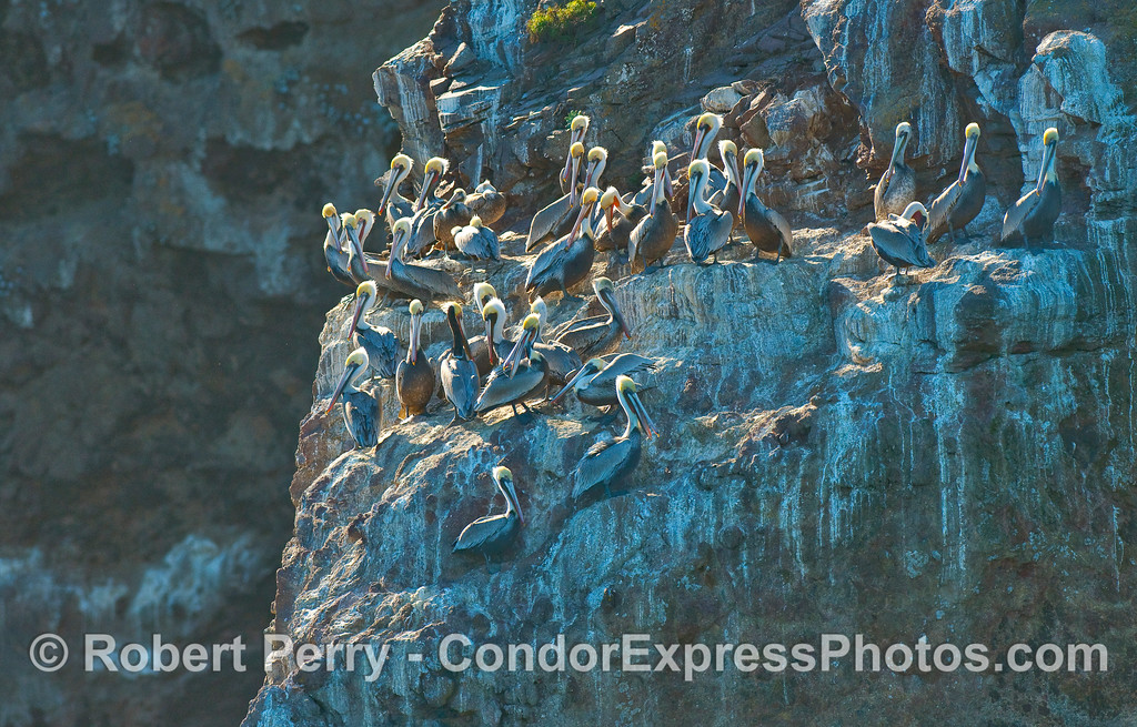 Brown Pelicans (Pelecanus occidentalis) roost on a rocky seacliff ledge.