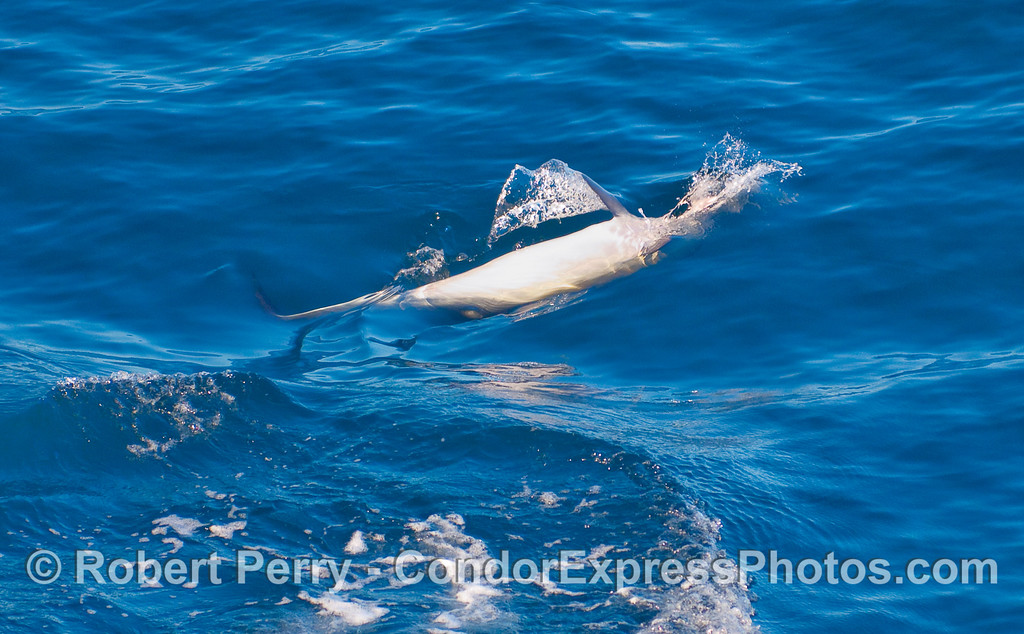 Common Dolphin (Delphinus capensis) - more upside down feeding.