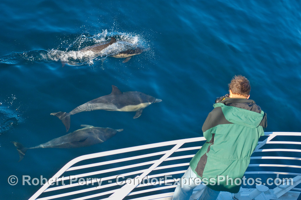 Three Common Dolphins (Delphinus capensis) pose for the photographer on board the Condor Express.
