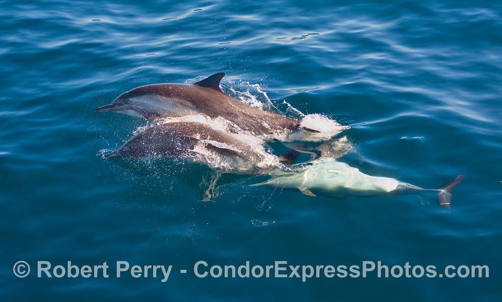 Playful behavior, part 2 - Common Dolphins (Delphinus capensis).