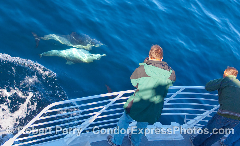 Shamless Common Dolphins (Delphinus capensis) mating in front of the photographers on board the Condor Express.