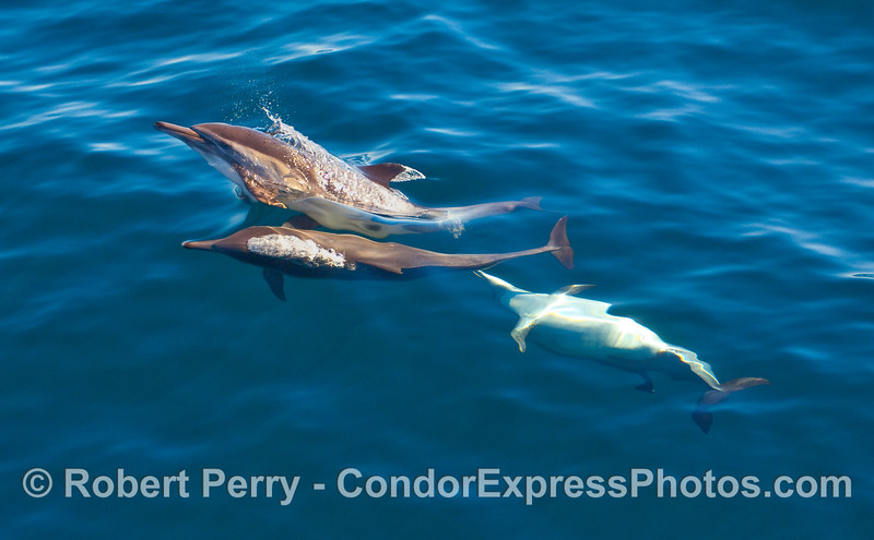 Playful behavior part 1 - Common Dolphins (Delphinus capensis).