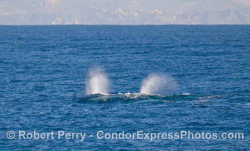 Two bush spouts - Gray Whales (Eschrichtius robustus).