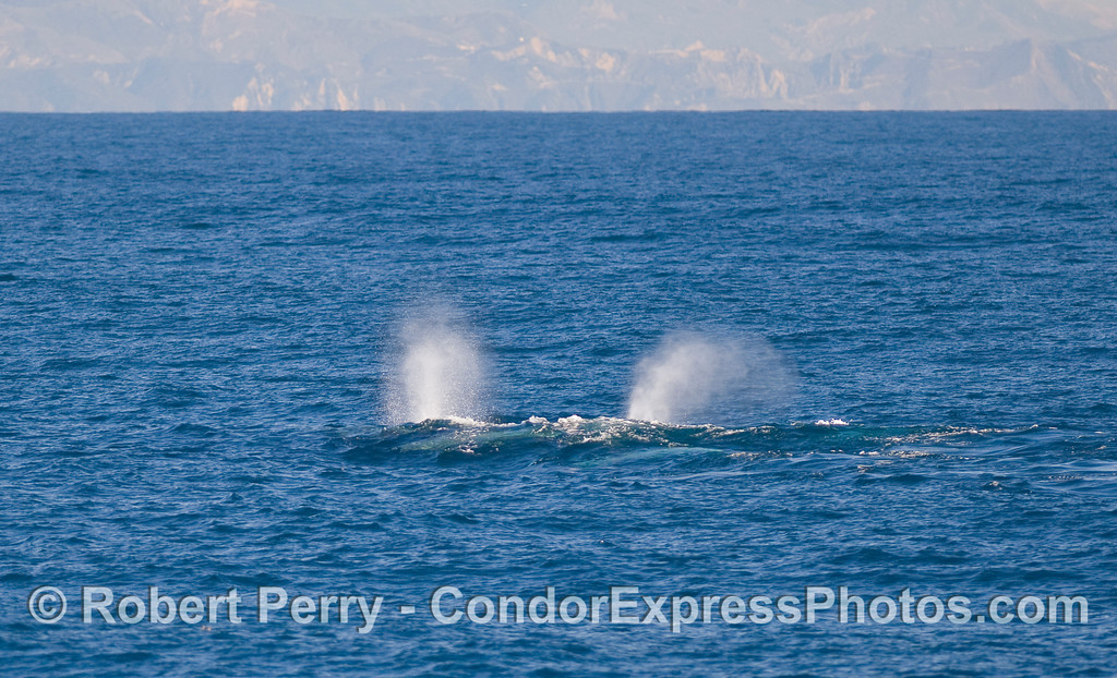 Two bush spouts - Gray Whales (Eschrichtius robustus).