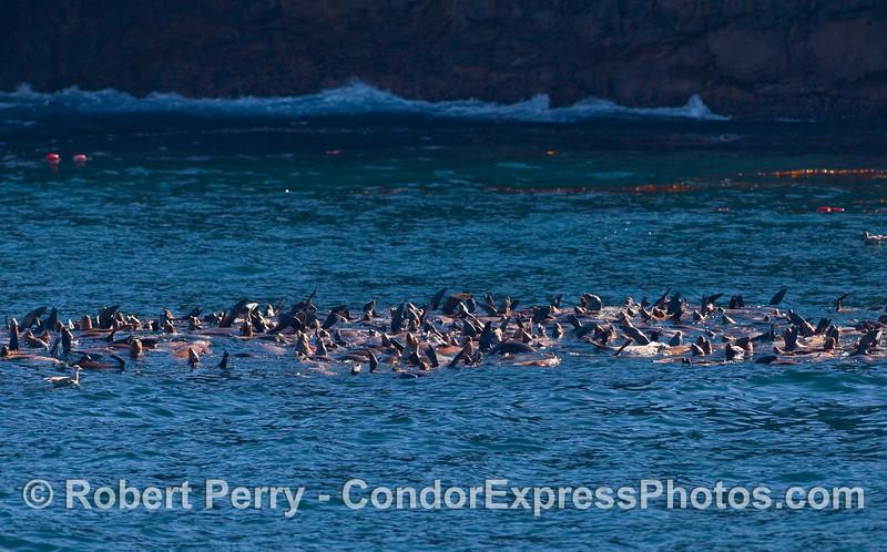 A mob scene:  young California Sea Lions (Zalophus californianus) rafting together near the seacliffs of Santa Cruz Island.