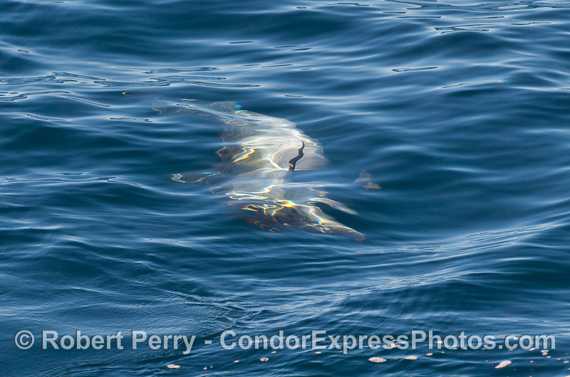"""One of several Common Dolphins (Delphinus capensis) engaged in """"upside down feeding"""" on the surface."""