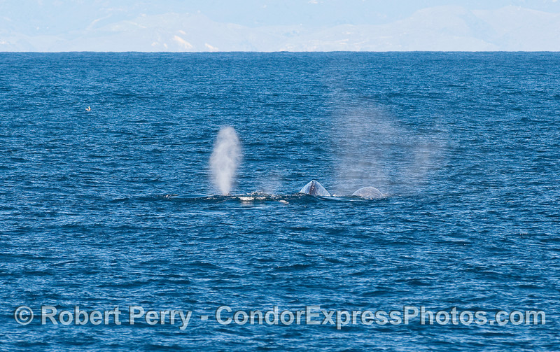 Four Gray Whales (Eschrichtius robustus) side-by-side.