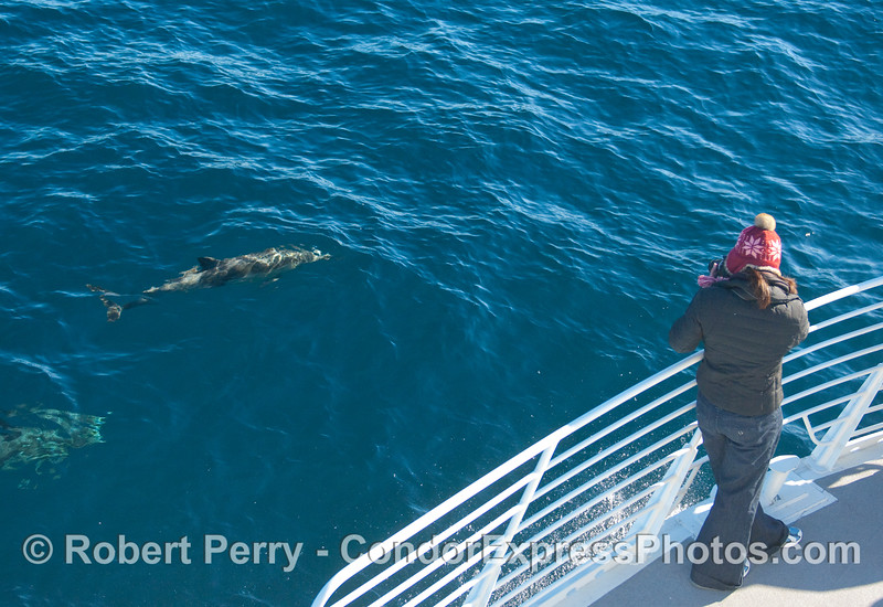 Another photographer snaps a nice image of a Common Dolphin (Delphinus capensis).