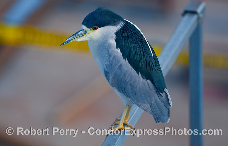 A Black-crowned Night Heron (Nycticorax nycticorax) perched on a dive boat at the Sea Landing in Santa Barbara.