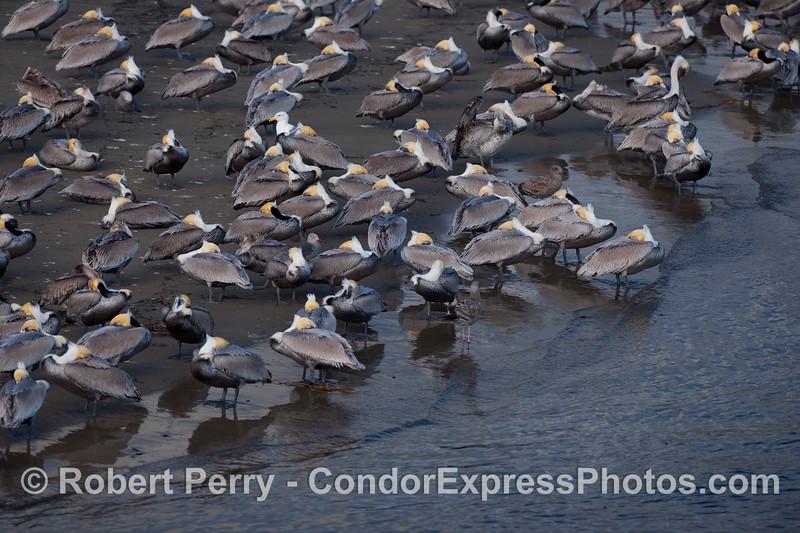 Siesta time in Santa Barbara - Brown Pelicans (Pelecanus occidentalis).