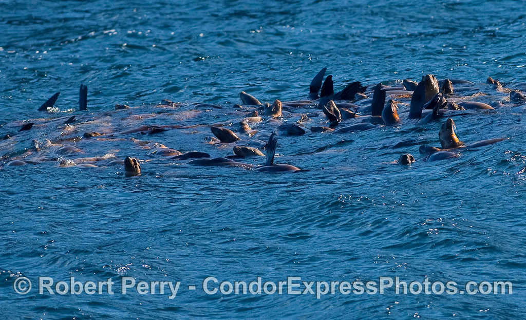 More fun than a barrel of --- California Sea Lions (Zalophus californianus).