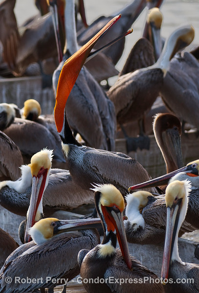 Gullar pouch stretch -- Brown Pelicans (Pelecanus occidentalis).