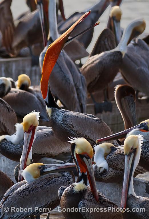 Gullar pouch stretch -- Brown Pelicans (Pelecanus occidentalis).
