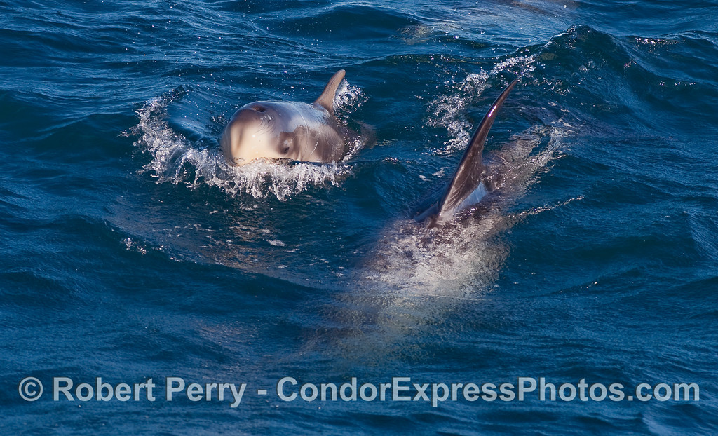 Nearly newborn, very young Risso's Dolphin (Grampus griseus) calf and mother.