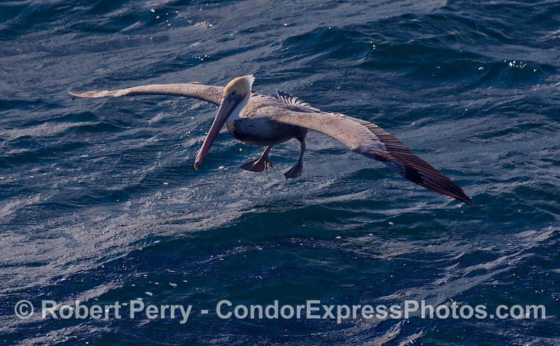 Brown Pelican (Pelecanus occidentalis) prepares to walk on water.
