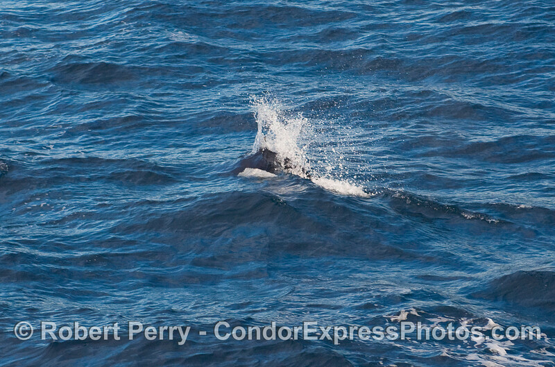 Rooster tail wake pattern - a speeding Dall's Porpoise (Phocoenoides dalli).