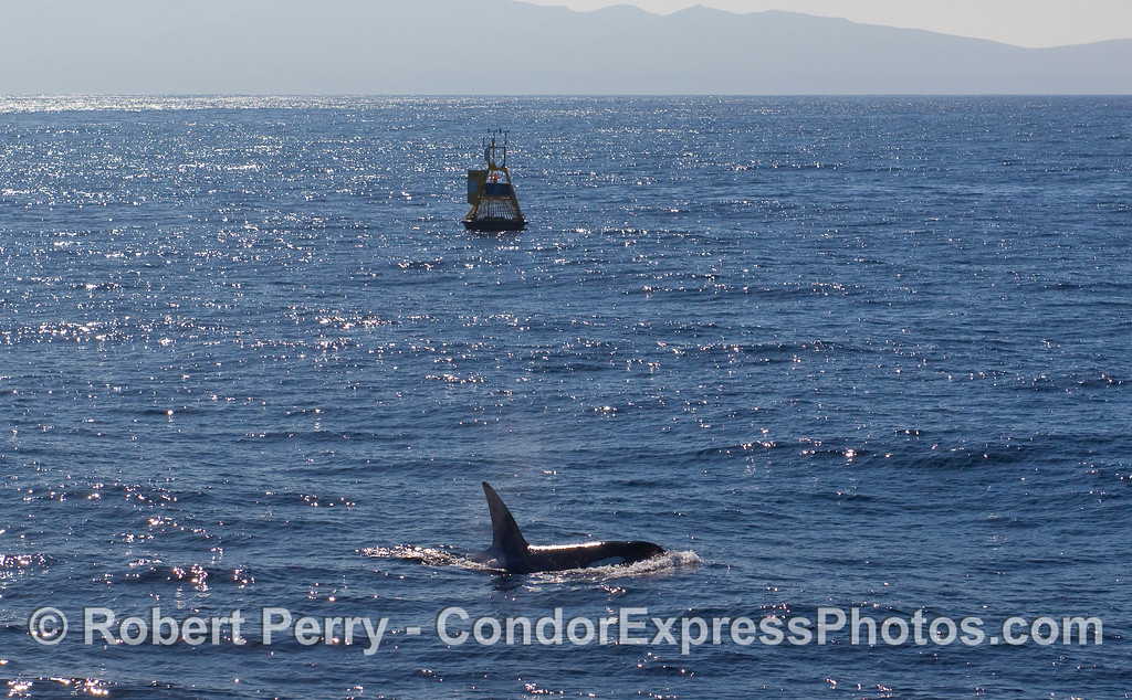Killer Whale (Orcinus orca) near the East Channel NOAA Weather Buoy.