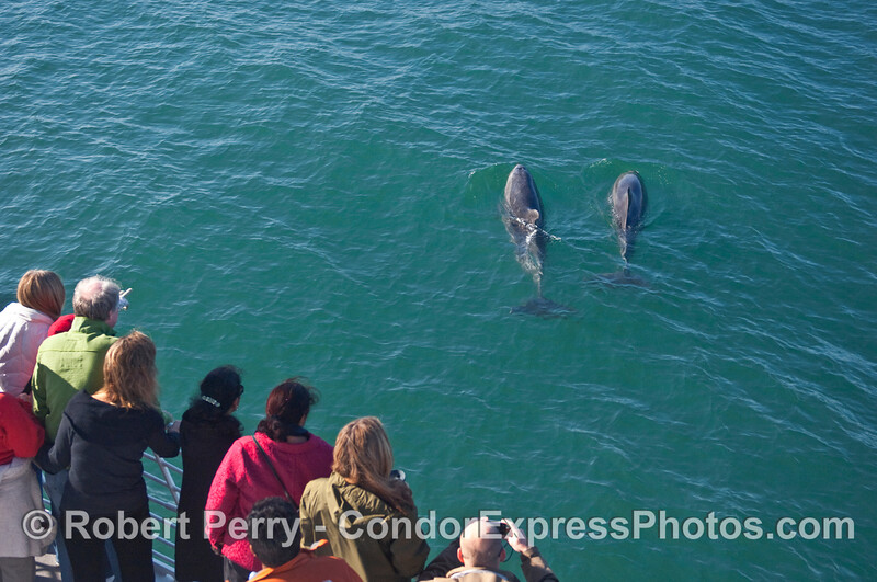 Two Bottlenose Dolphins (Tursiops truncatus) visit the whalers.