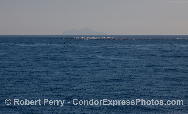 A long line of fast moving Common Dolphins (Delphinus capensis).