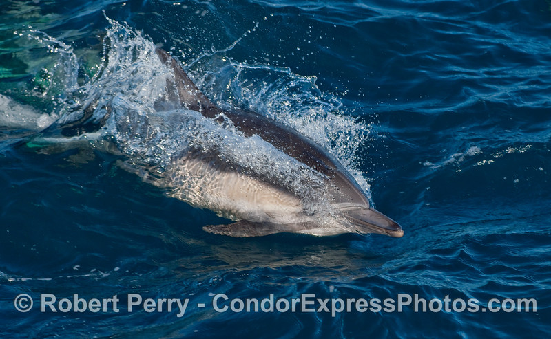 Common Dolphin (Delphinus capensis) imitates a torpedo...or does the torpedo imitate the dolphin?   Hmmm.