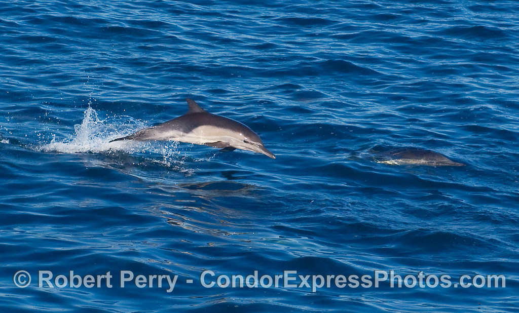 A Common Dolphin (Delphinus capensis) races alongside the Condor Express.