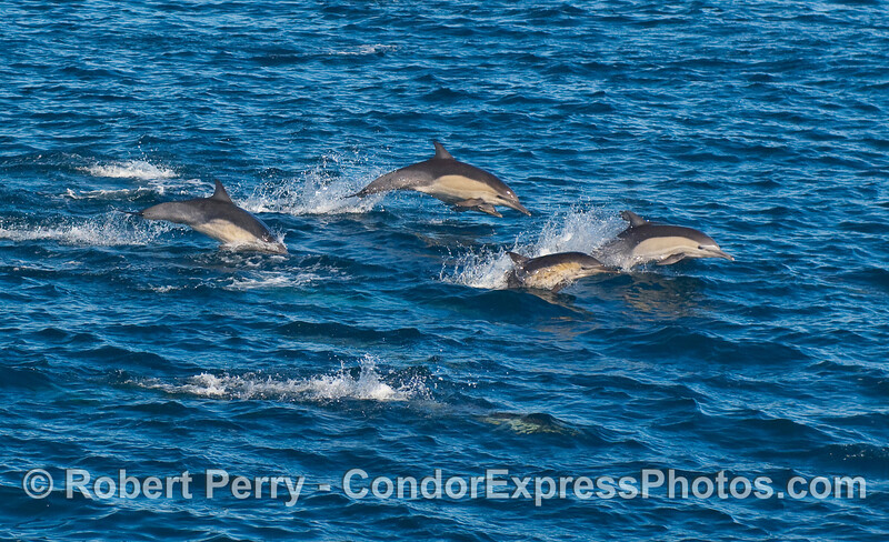 A group of leaping Common Dolphins (Delphinus capensis).